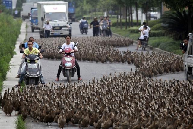 bebek jalanan