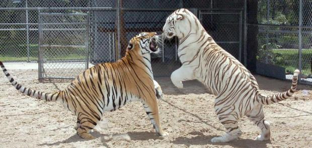two tiger repsol honda